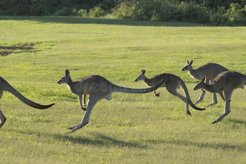 I canguri che saltano attraverso un campo verde fotografia stock