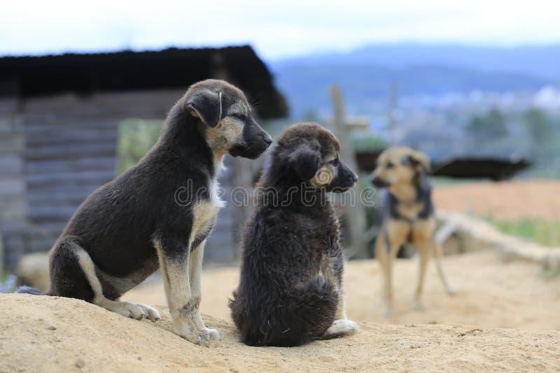 I cani della famiglia vivono e giocando in monticello del ‹del †del ‹del †della sabbia, semi in tensione del cane selvaggi ne immagini stock libere da diritti
