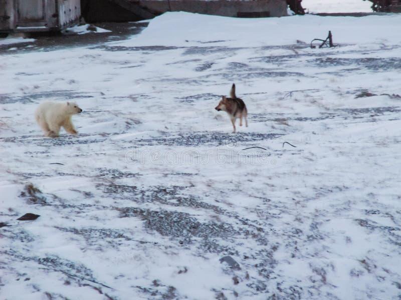 I cani scortecciano all'orso polare e provano a liberarselo fotografia stock