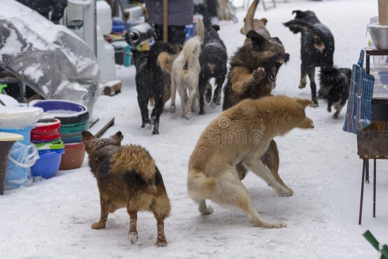 I cani senza tetto combattono sulla via nell'inverno immagini stock