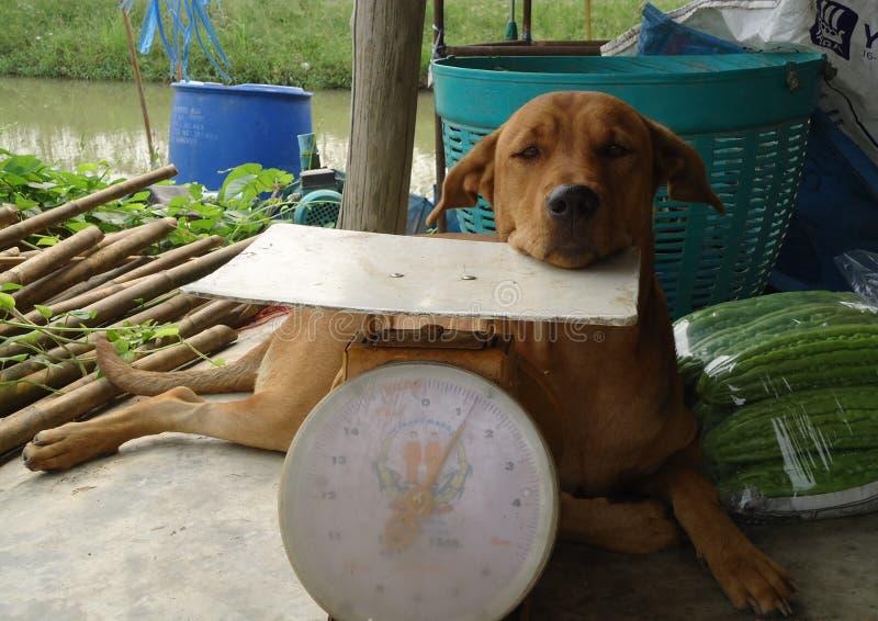 I cani sono animali da latte allevati per migliaia di anni fino al comportarsi fotografie stock libere da diritti