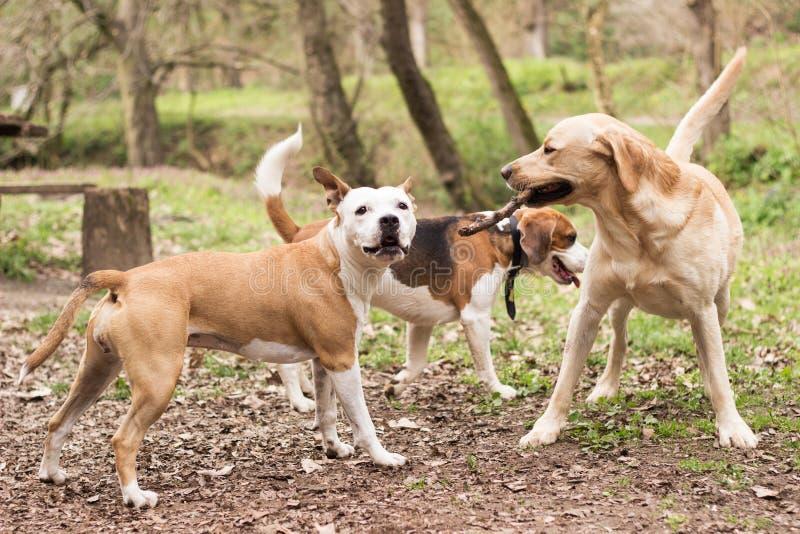 I cani stanno avendo divertimento fotografia stock libera da diritti