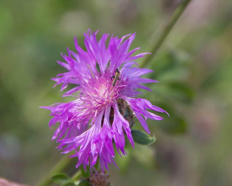 I cantaridi Cantharidae sul Amberboa fotografia stock