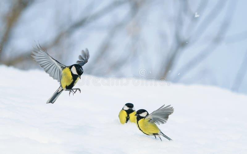 i capezzoli dell'uccello volano e camminano su neve bianca in giardino di inverno il chiaro giorno fotografia stock libera da diritti