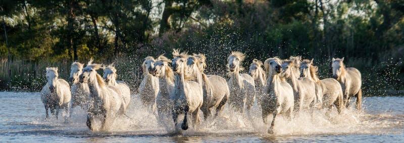 I cavalli bianchi di Camargue funzionano nella riserva naturale delle paludi camargue de parc regionale france La Provenza immagini stock