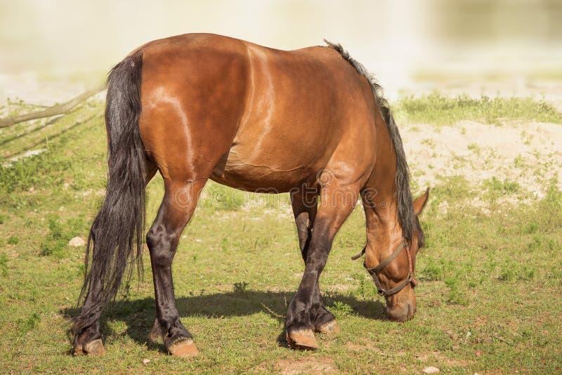 I cavalli di Brown pascono su un ranch immagini stock libere da diritti