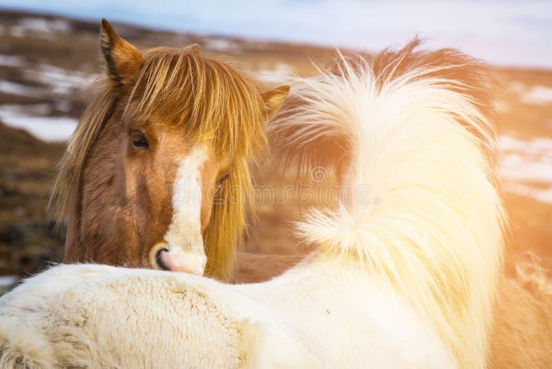 I cavalli islandesi si chiudono su sull'animale da allevamento capo immagini stock