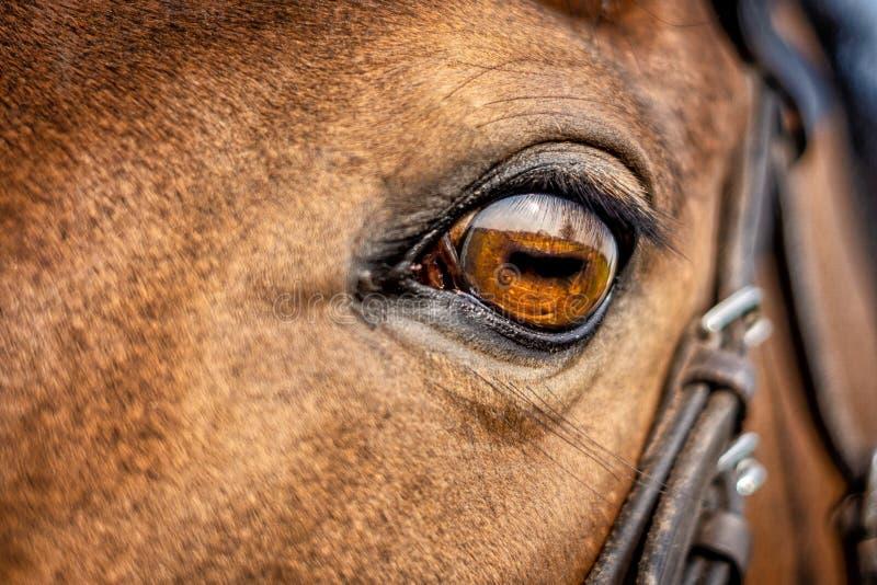 I cavalli osservano vicino su immagine stock libera da diritti