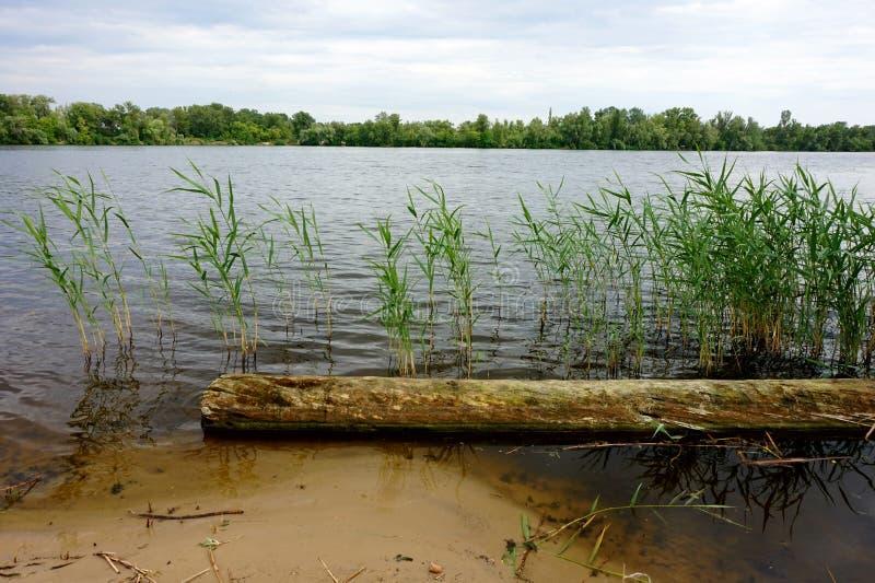 I ceppi che si trovano nell'acqua vicino alla riva, fra le canne fotografie stock