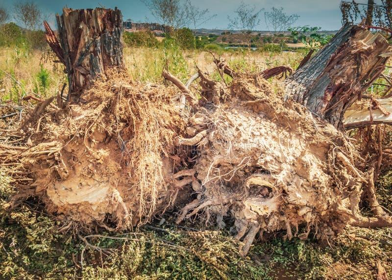 I ceppi di albero dopo gli alberi del lato della strada sono stati cutdown ed allora estratto dopo che hanno invaso lungo i marci immagini stock
