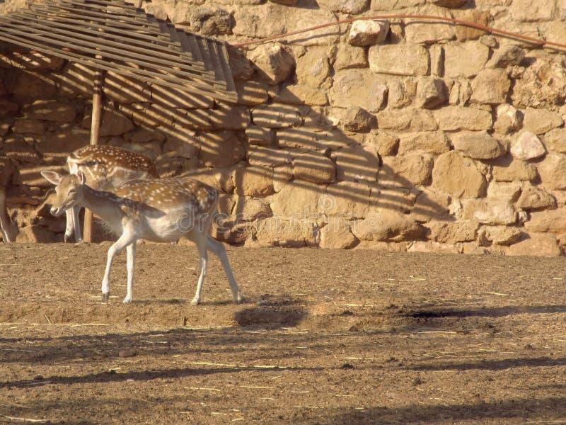 I cervi dalla coda bianca immagini stock