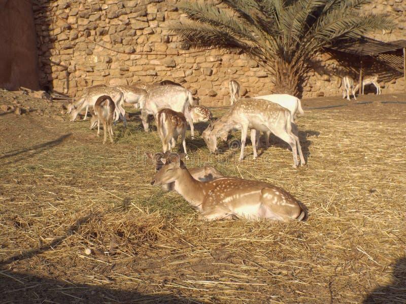 I cervi dalla coda bianca immagine stock