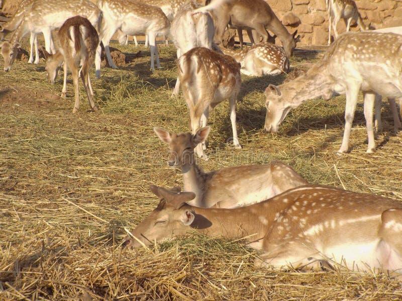 I cervi dalla coda bianca fotografia stock