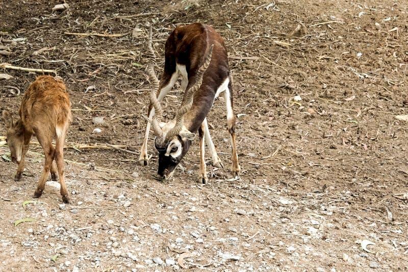 I cervi dalla coda bianca mangiano l'erba dalla palude immagine stock