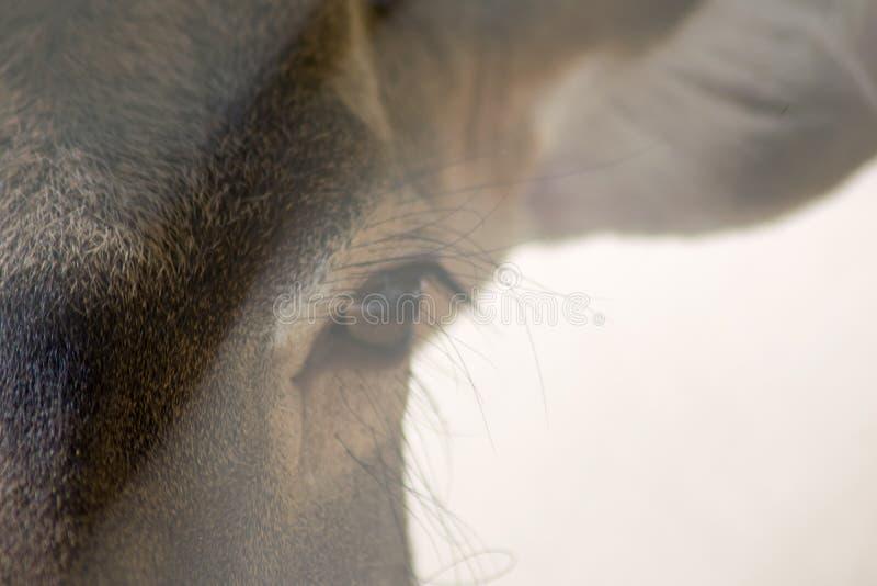 I cervi maschii selvaggi osservano vicino su con luce solare immagine stock libera da diritti