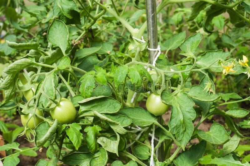 I cespugli con i pomodori verdi si sviluppano in una serra domestica immagine stock