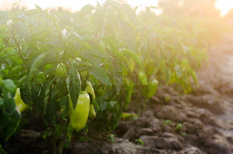 i cespugli di giallo/di peperone verde si sviluppa nel campo file di verdure Agricoltura, agricoltura Paesaggio con terreno agric immagini stock libere da diritti