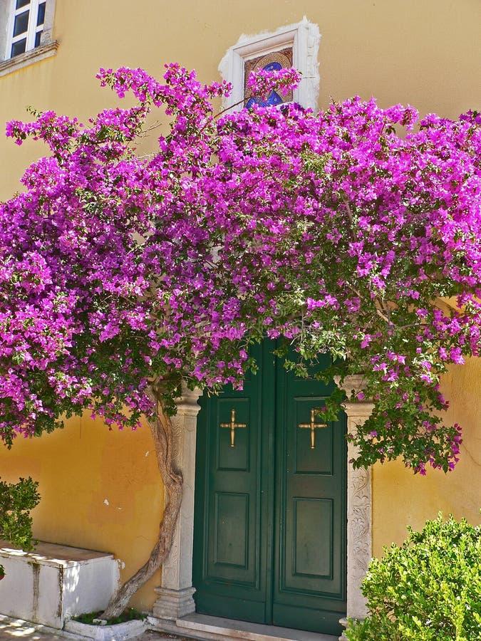 I cespugli ornamentali spinosi delle viti della buganvillea e gli alberi con la molla del tipo di fiore va vicino ai suoi fiori immagini stock