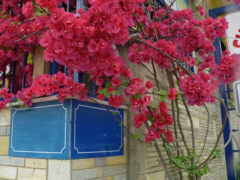 I cespugli ornamentali spinosi delle viti della buganvillea e gli alberi con la molla del tipo di fiore va vicino ai suoi fiori immagine stock libera da diritti