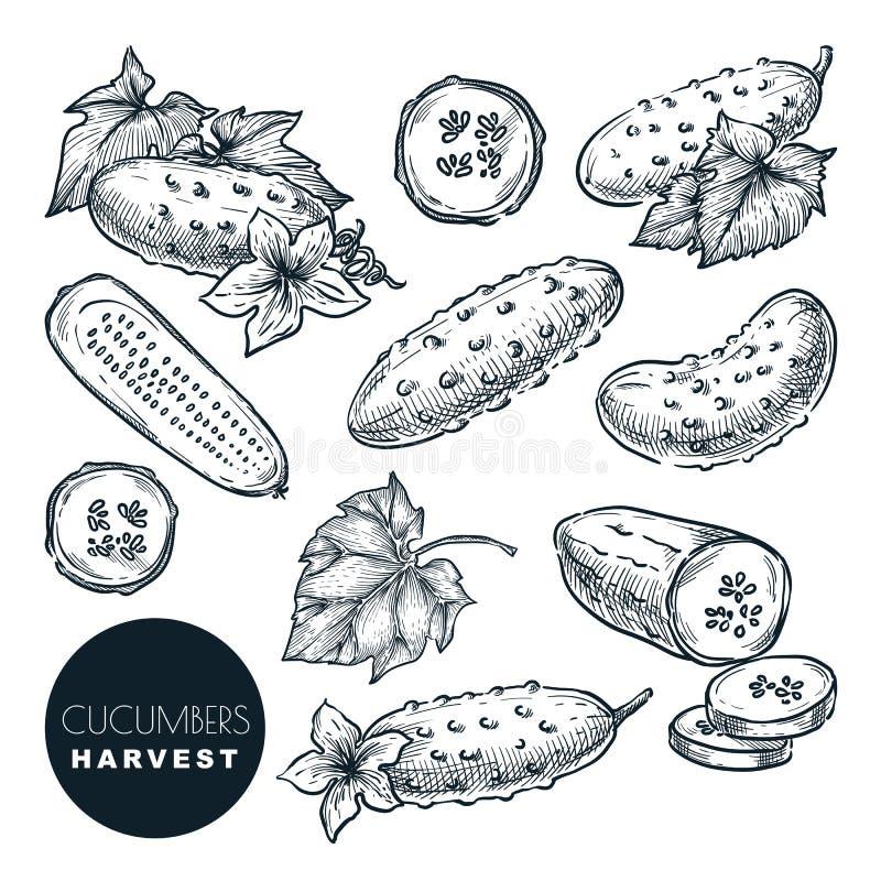 I cetrioli raccolgono l'illustrazione di vettore di schizzo Verdure di insalata verde Elementi disegnati a mano di progettazione  royalty illustrazione gratis