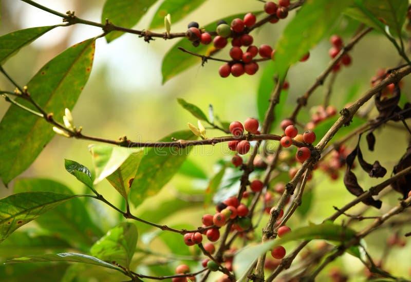 I chicchi di caffè si sviluppano sull'albero fotografie stock libere da diritti