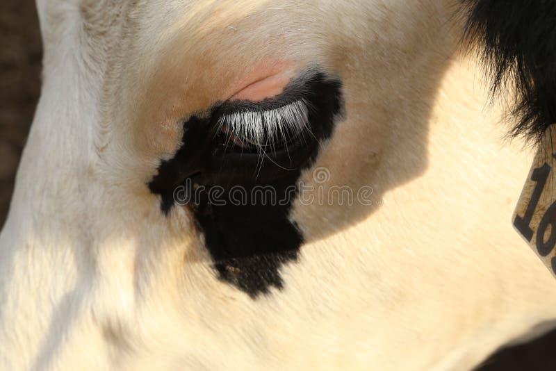 I cigli vita degli agricoltori sono molto lunghi sulle mucche da latte e le mucche mostrano le emozioni con i cigli fotografie stock libere da diritti