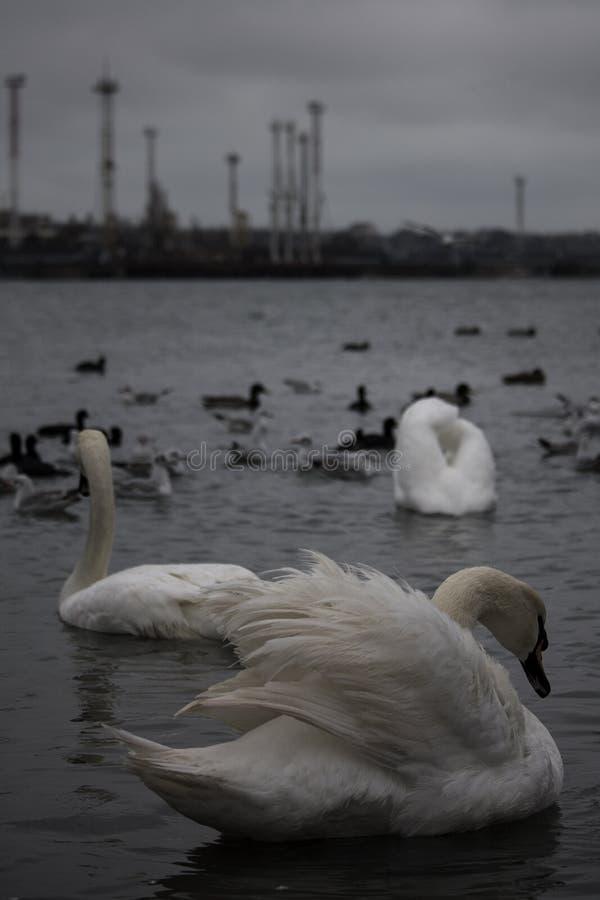 I cigni contro alcuni fabbricati industriali vicino al Chornomorsk ferry, l'Ucraina fotografia stock