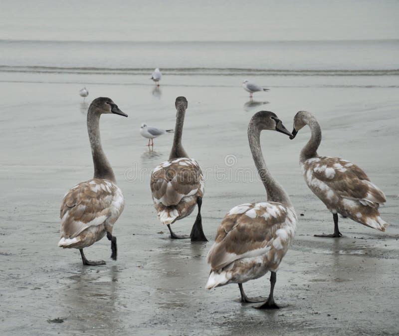 I cigni di tundra camminano sulla spiaggia accanto ai gabbiani fotografie stock libere da diritti