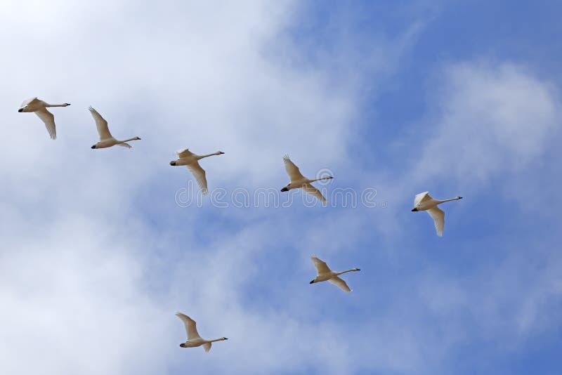 I cigni di tundra di migrazione volano nella formazione di v fotografia stock