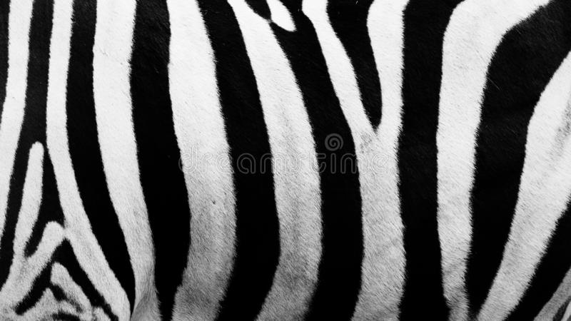 Zebra Stripes Clicked in an Open zoo. I clicked this picture during visit of Olympic Game Farm in last summer royalty free stock photos