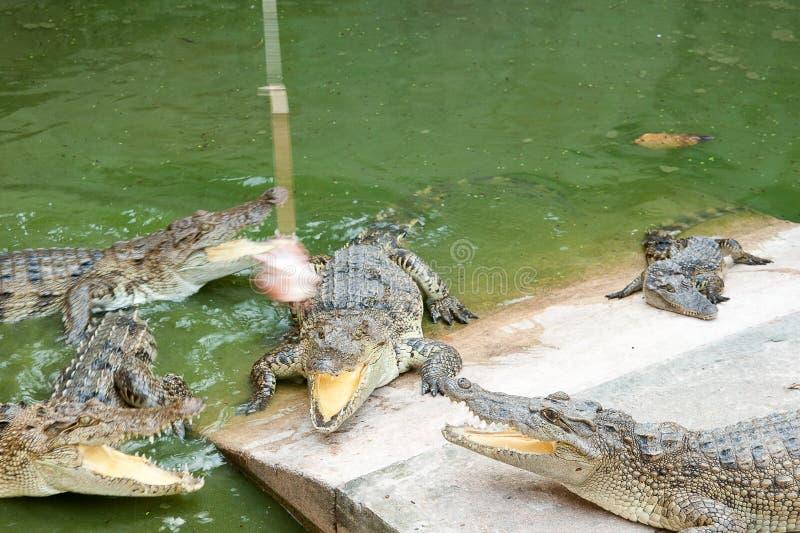 I coccodrilli cercano per la preda immagini stock