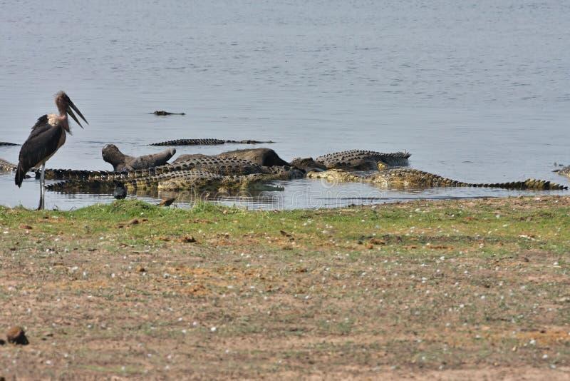 I coccodrilli di Nilo si dilettano sulla Buffalo africana della carogna, nel parco nazionale di Chobe, il Botswana immagini stock