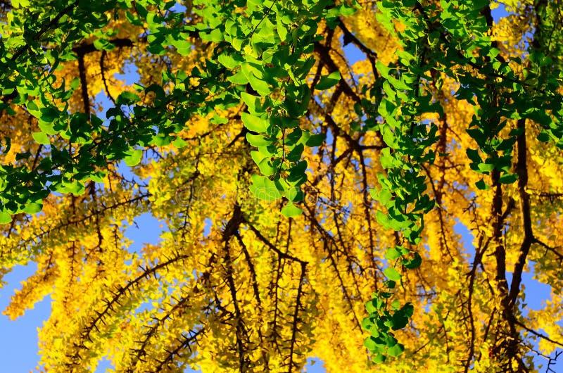 I colori del ginkgo va, autunno di Kyoto Giappone fotografie stock