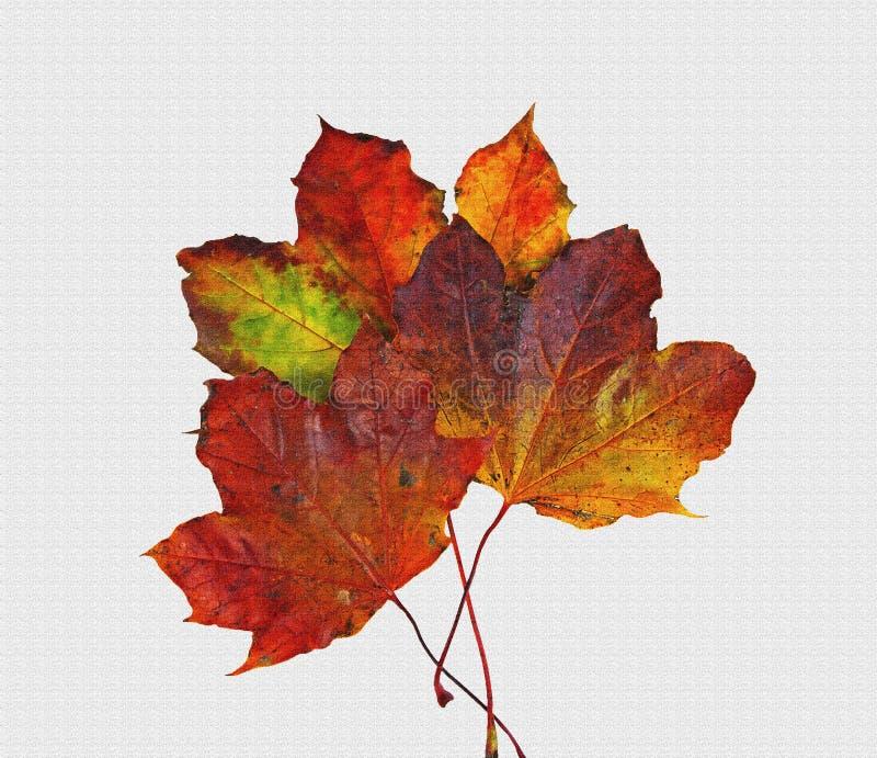 I colori di caduta di tre foglie di acero fotografia stock