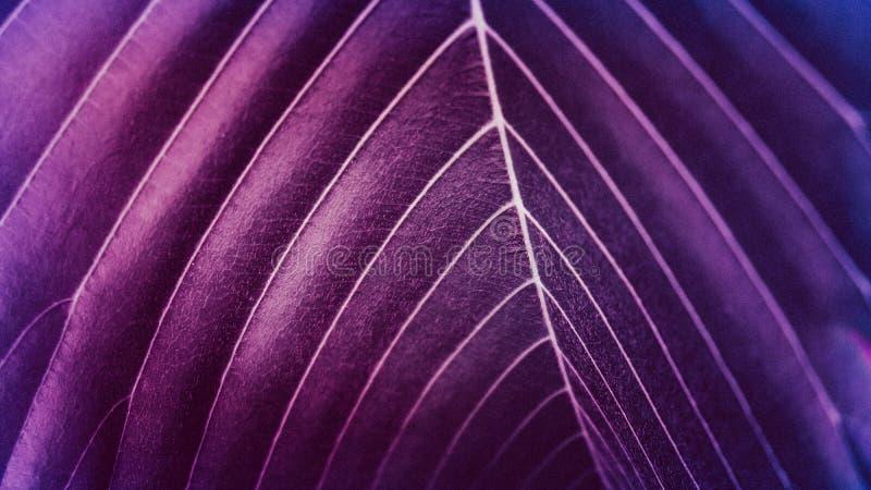 I colori ultravioletti della foglia, fondo porpora delle foglie, fondo ultravioletto hanno fatto delle foglie verdi fresche fotografia stock libera da diritti
