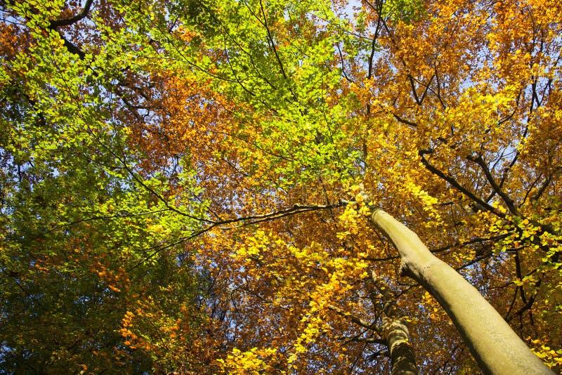 I colori vibranti di autunno dell 39 albero di faggio lascia - Immagine dell albero a colori ...