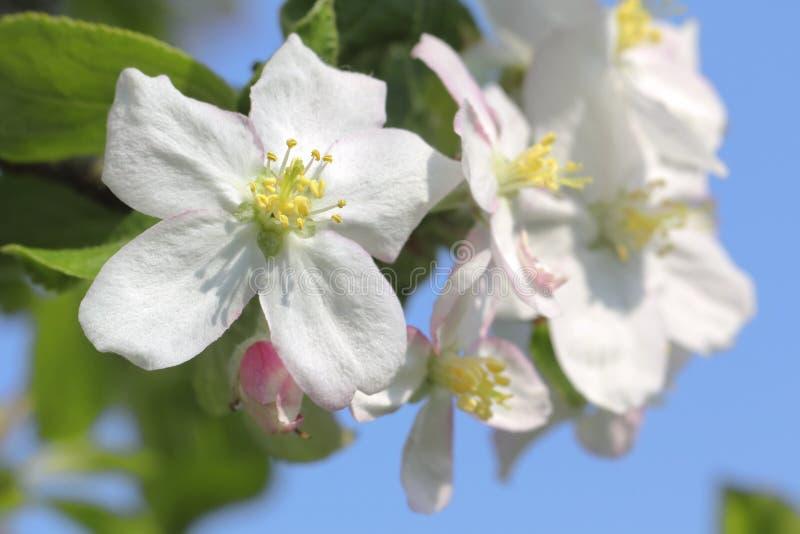 I colpi del primo piano di bella mela sbocciano nel tempo di primavera fotografie stock