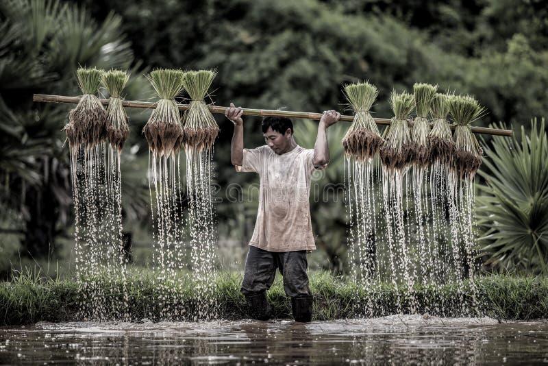 I coltivatori coltivano il riso nella stagione delle pioggie immagini stock