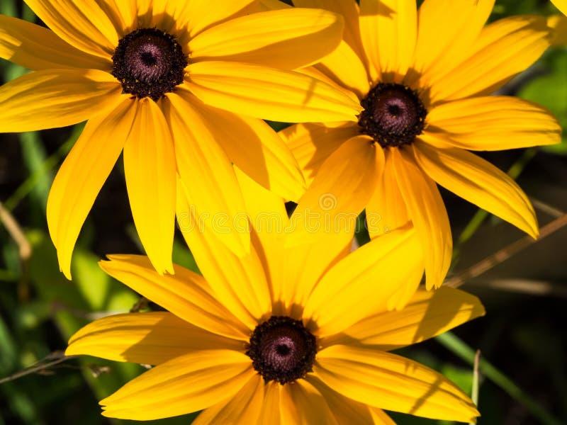 I coneflowers gialli di Rudbeckia, margherite gialle fiorisce, macro immagini stock