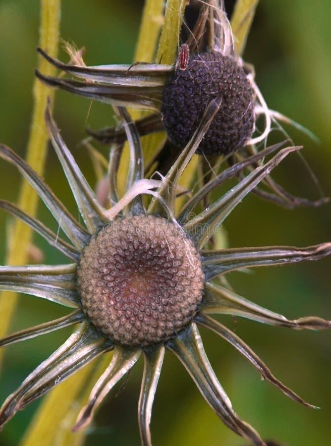 I coneflowers porpora lisci fioriscono nel mio giardino fotografia stock libera da diritti