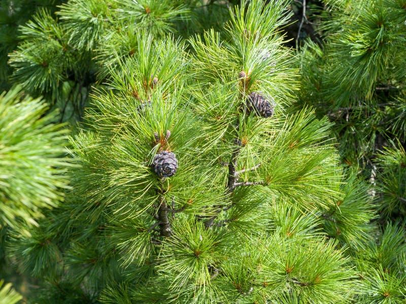 I coni del cedro si sviluppano nella pianta dei rami coniferi immagini stock