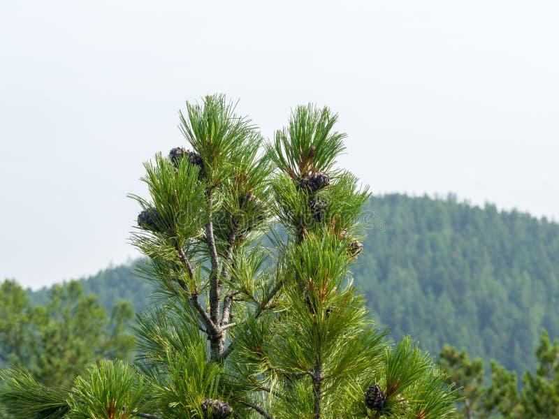 I coni si sviluppano sui rami superiori del cedro siberiano fotografia stock
