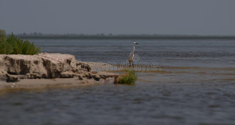 I cormorani ed i pellicani pescano e riposano nella riserva del Danubio nel Mar Nero vicino alla canna fotografie stock