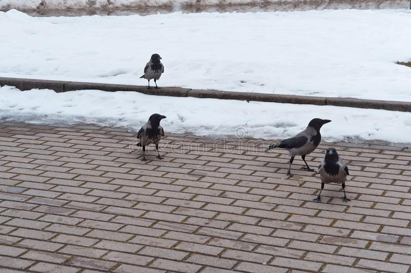 I corvi grigi sulla strada, corvi neri sul marciapiede sono chiesti di mangiare fotografia stock