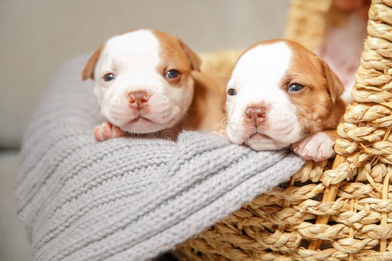 I cuccioli americani del bulldog dormono dolce in un canestro fotografia stock