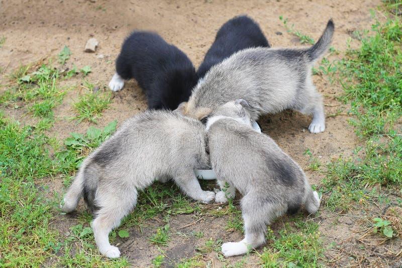 I cuccioli del husky mangiano immagine stock libera da diritti