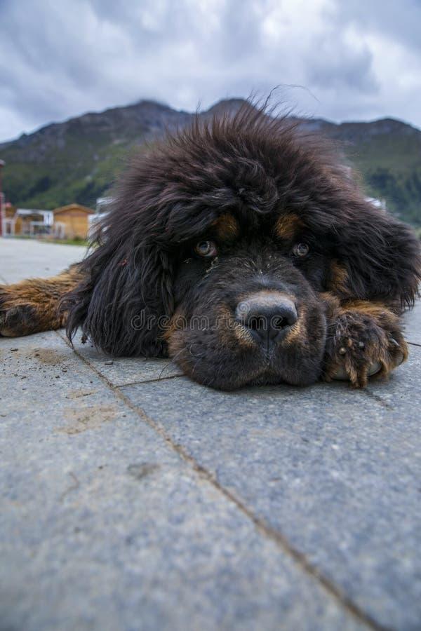 I cuccioli del mastino tibetano fotografia stock libera da diritti