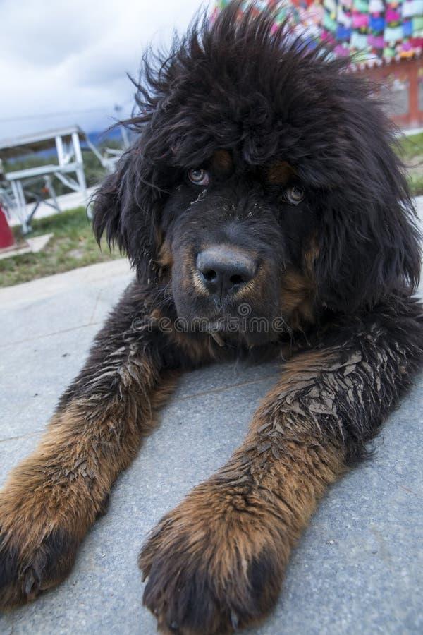 I cuccioli del mastino tibetano immagine stock
