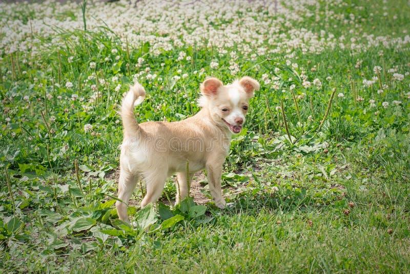 I cuccioli della chihuahua camminano sull'erba verde di estate fotografia stock