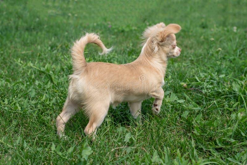 I cuccioli della chihuahua camminano sull'erba verde di estate fotografia stock libera da diritti